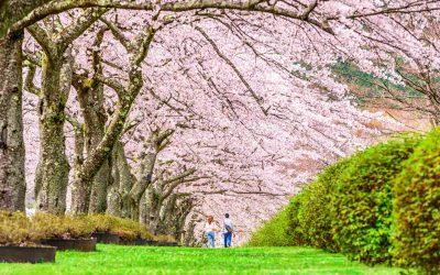 W krainie kwitnącej wiśni – sesja narzeczeńska